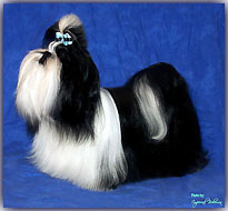 grooming Imperial Bohemia kennel